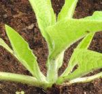 Comfrey, True (Symphytum officinale var patens), packet of 20 seeds, organic