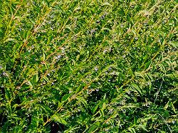 Skullcap, Official (Scutellaria lateriflora), packet of 50 seeds, organic