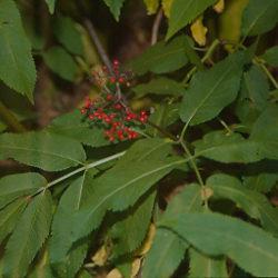 Spikenard, Eastern (Aralia racemosa), packet of 30 seeds