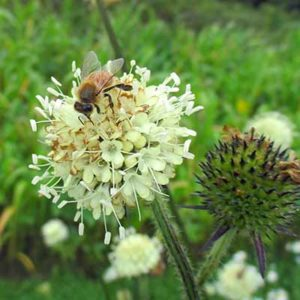 Teasel, Xu-duan (Dipsacus asperoides) packet of 30 seeds