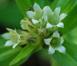 Gentian, Tibetan (Gentiana tibetica), packet of 30 seeds, organic