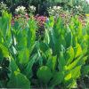 Tobacco Set (9 seed packets): Night-blooming Azteca, Desert, Havana, Hopi, Huichol, Oneida, Tree, Scherazi, Smoking