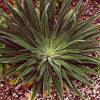 Tower-of-Jewels (Echium wildpretii), packet of 30 seeds