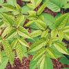 Udo (Aralia cordata), packet of 20 seeds, organic