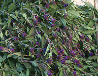 Vervain, Blue (Verbena hastata), packet of 100 seeds, Organic