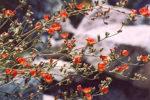 Mallow, Desert Globemallow (Sphaeralcea ambigua), packet of 100 seeds
