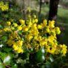 Oregon Grape, Tall (Mahonia aquifolium) potted plant, organic