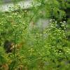Khella (Ammi visnaga), potted plant, Organic