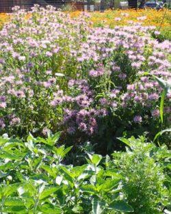 Bergamot, Sweet Leaf (Monarda fistulosa) potted plant, organic