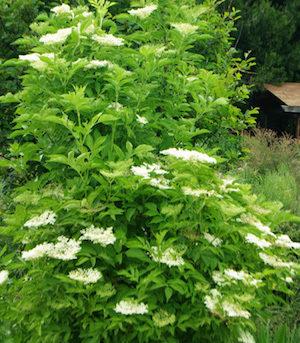 Pictures Of Elderberry Plant