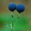 Blue Cohosh (Caulophyllum thalictroides) potted plant, organic