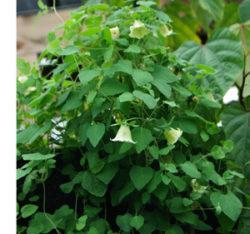 Dang-shen, pilosula (Codonopsis pilosula), potted plant, organic