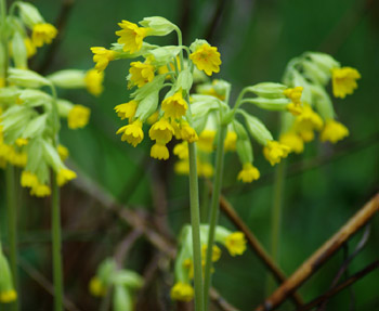 Cowslip (Primula veris), potted plant, organic