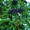 Elderberry, Black (Black Elderberry) (Sambucus nigra) potted tree, organic