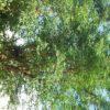 Henna (Lawsonia inermis), potted tree, organic