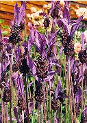 Lavender, French (Lavandula stoechas), potted plant, organic