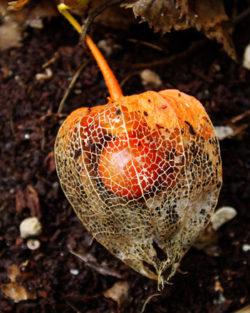Japanese Lantern (Physalis alkekengi franchetii), Potted Plant, Organic