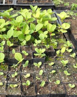 Schisandra, Official (Schisandra chinensis), packet of 20 seeds